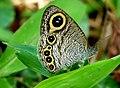 Ypthima huebneri by Kadavoor 2.jpg
