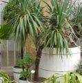 Yucca-gloriosa1.jpg