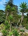 Yucca aloifolia 3.jpg