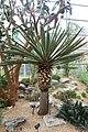 Yucca carnerosana - Brooklyn Botanic Garden - Brooklyn, NY - DSC08083.JPG