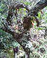 Z Treefuschia flowers at Aloes Kirstenbosch - Halleria lucida 3.JPG