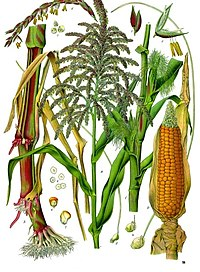 Illustration depictin baith male an female flouers o maize