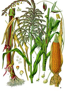 Maize Cereal grain
