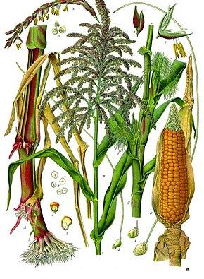 Description de l'image Zea_mays_-_Köhler–s_Medizinal-Pflanzen-283.jpg.