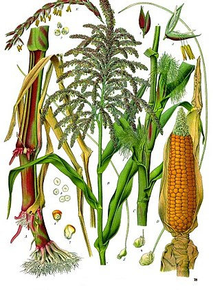 Illustration depicting both male and female flowers of maize