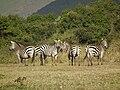 Zebras in Tanzania 3860 Nevit.jpg