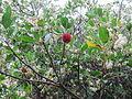 Zrela jagoda in cvetovi.JPG