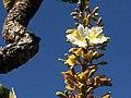 """""""chapéu-de-couro"""" - Salvertia convallariodora A.St.-Hil. - Vochysiaceae 02.jpg"""