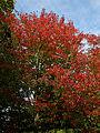 "'Acer rubrum' ""Scanlon"" Beale Arboretum - West Lodge Park - Hadley Wood Enfield London.jpg"