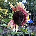 'ProCut Plum' sunflower IMG 4911.jpg
