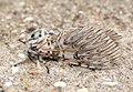 (1995) Puss Moth (Cerura vinula) (7343018740).jpg