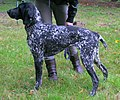 (2)Wystawa psów Rybnik wyżeł niemiecki 04.10.2010 pl.jpg