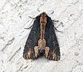 (2301) Bird's Wing (Dypterygia scabriuscula) (9294817824).jpg