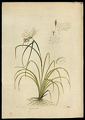 (Cyperacea)