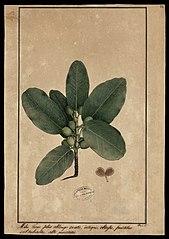 (Ficus)