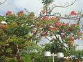 Árvore-Praça de Cuba.JPG