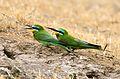 Şahlûrê kesk (Merops persicus).jpg