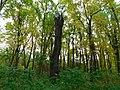 Šuma poljskog jasena (Fraxinus angustifolia); Narrowed-leaved ash forest.jpg