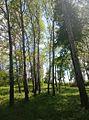 Берези.Парк Софіївка.jpg