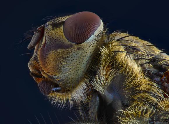 Домашняя муха.png