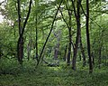 Дуби — Голосіївські велетні, дуб серед лісу.jpg