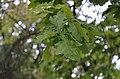 Дуб черешчатий. Вулиця Л. Українки, 29. Фото 1.jpg