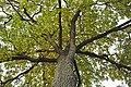 Дуб черешчатый, Ботанический сад.jpg