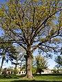 Дуб черешчатый (Quércus róbur), Парк пос. Ясная Поляна (Trakehnen), Калининградская область.jpg