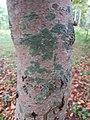 Неизвестный лишайник на дереве в Севастопольском парке Минска 03.jpg