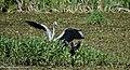 Парк Рильського водяна куріпка та сіра чапля2.jpg