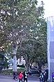 Платан западный (сквер Оперного театра, №3). Фото 2.jpg