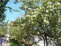 Яблони в цвету - panoramio.jpg