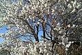 شکوفه بادام فصل بهار - panoramio.jpg