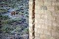 چرای گله شتر - حوالی کاروانسرای دیر گچین قم - پارک ملی کویر 07.jpg