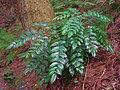 ヒイラギナンテン Lealherleaf holly grope shrubs 2013.3.17 - panoramio.jpg