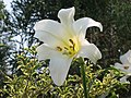 亞洲百合 Lilium Asiatic hybrid -香港花展 Hong Kong Flower Show- (9240152836).jpg