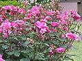 北播磨余暇村公園のバラ「ローズミュージック」P6023025ローズミュージック.JPG