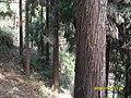 卢峰山的雪松林 - panoramio.jpg