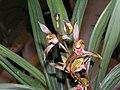 報歲文山龍 Cymbidium sinense 'Wen-Shan Dragon' -香港沙田國蘭展 Shatin Orchid Show, Hong Kong- (12221355964).jpg