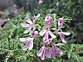 天竺葵屬 Pelargonium abrotanifolium -倫敦植物園 Kew Gardens, London- (9157035761).jpg
