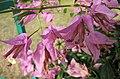 小葉淺紫花葉子花 Bougainvillea x buttiana -深圳蓮花山公園 Shenzhen Lianhuashan Park, China- (11205364704).jpg