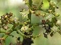 山大刀(九節) Psychotria rubra -香港西貢獅子會自然教育中心 Saikung, Hong Kong- (9219873823).jpg