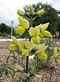 披針葉野決明 Thermopsis lanceolata -比利時 Ghent University Botanical Garden, Belgium- (9213306315).jpg