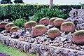 東南植物園金琥仙人掌 Golden Barrels ( Echinocactus grusonii ) in Southeast Botanical Garden - panoramio.jpg