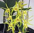 石斛蘭屬 Dendrobium tetragonum hybrid -香港花展 Hong Kong Flower Show- (9219877319).jpg