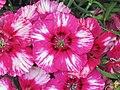 石竹 Dianthus chinensis Corona Cherry Magic -香港花展 Hong Kong Flower Show- (9447854151).jpg