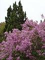 紫丁香 - panoramio.jpg