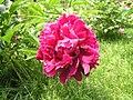 芍藥-繡球型 Paeonia lactiflora Ball-series -北京景山公園 Jingshan Park, Beijing- (9207629866).jpg