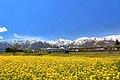 蕨平地域からの北アルプスと菜の花01.jpg