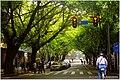西华路尾细叶榕 - panoramio (2).jpg